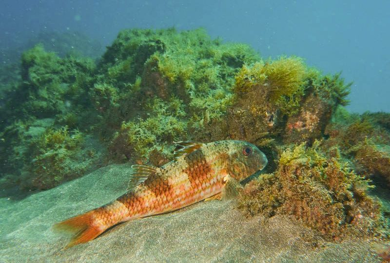 buceo-abades-tenerife-salmonete