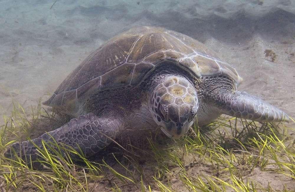 tortuga verde tenerife