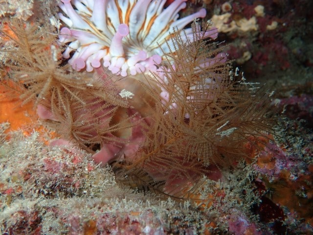 anemona coral