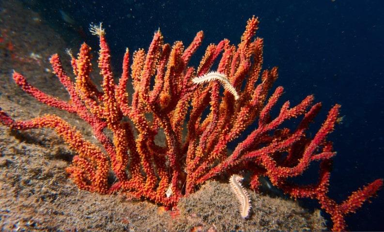 gorgonia roja tenerife