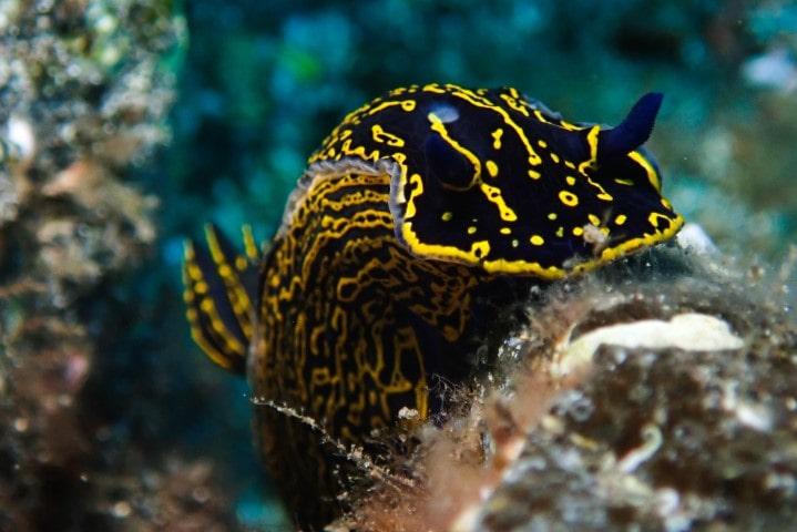 nudibranquio azul y amarillo tenerife