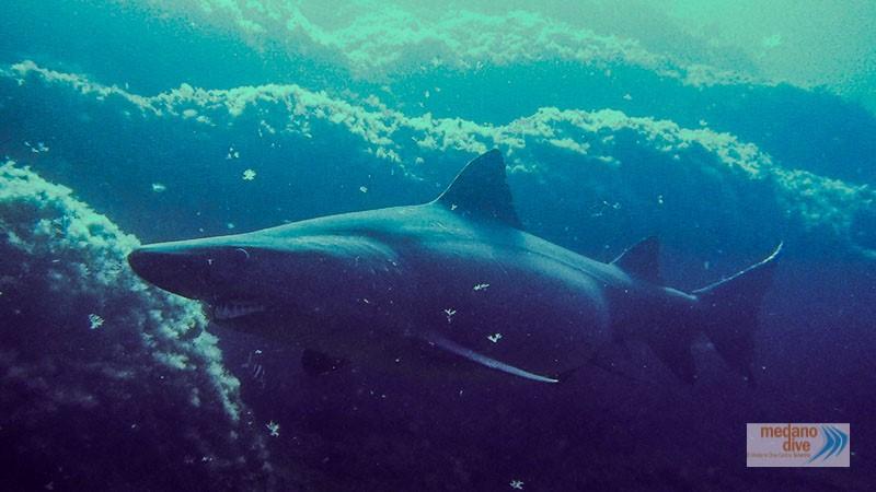 tiburon solrayo el hierro
