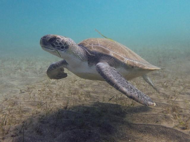 tortuga verde islas canarias